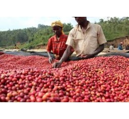 "Burundi Fully Washed Sélection ""Kalico"" Bourbon"