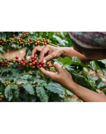 Colombie - TITIRIBI |ANTIOQUIA| EXCELSO - Bio