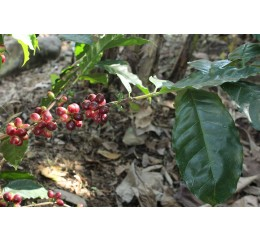 Micro-Lot / Salvador | Honey Cuzcatleco | Finca El Opalo | JUAYUA | SONSONATE
